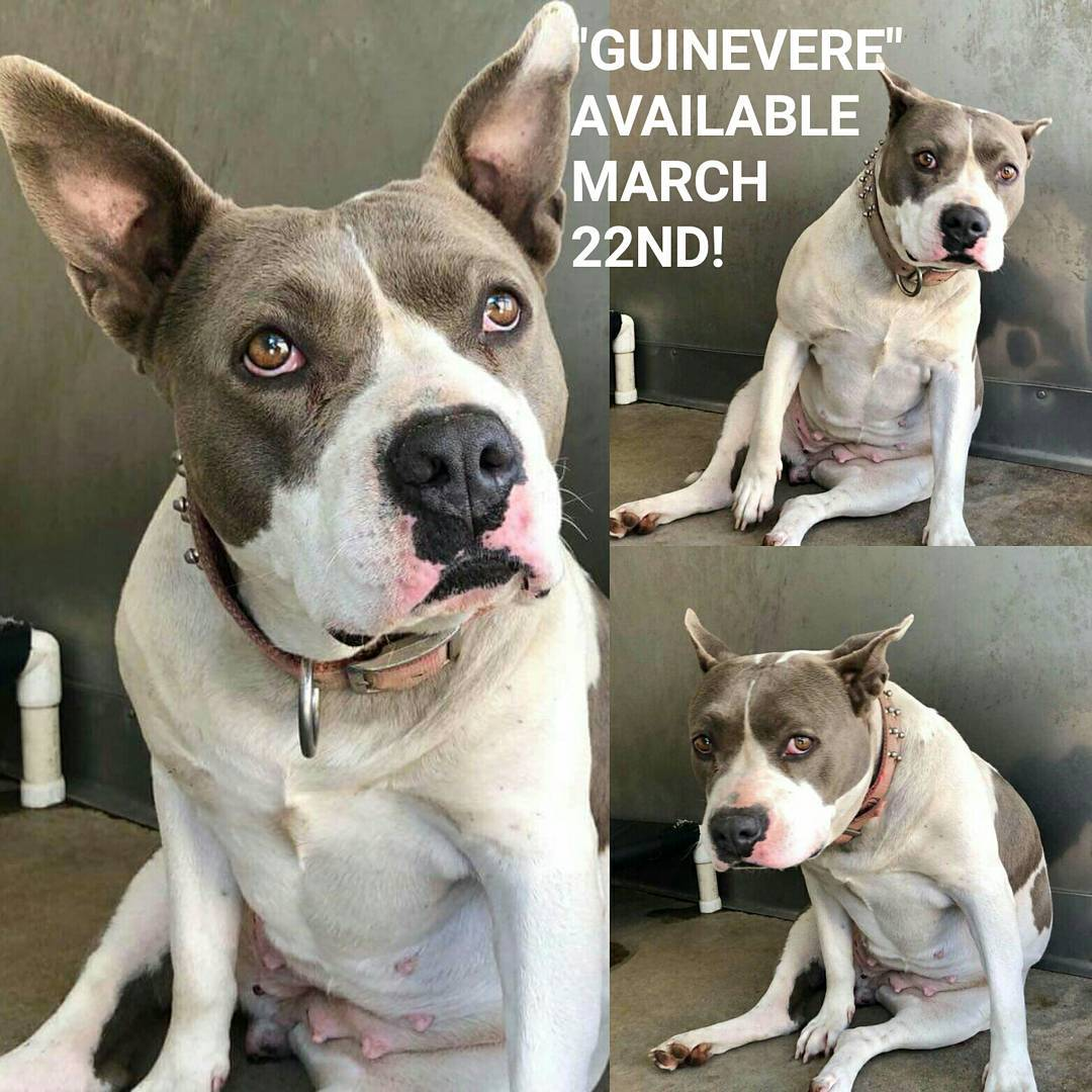 DO YOU SEE ME GORGEOUS GENTLE &quot;GUINEVERE&quot; 3-4YO SWEET #PITTIE CONFISCATEDFM BAD NEGLECTFUL OWNER! A RECENT MAMA W/OUT HER BABIES SAN BERNARDINO #CA HI    https://www. facebook.com/photo.php?fbid =1931056446912815&amp;set=a.1491225727562558.1073741830.100000254340379&amp;type=3&amp;theater &nbsp; …  &#39;s TO HAVE VISITORS IN KENNEL SHE&#39;S SCARED LOOK AT HER SOULFUL EYESPZ SAVE HER LIFE<br>http://pic.twitter.com/Z8sIWXTLPt