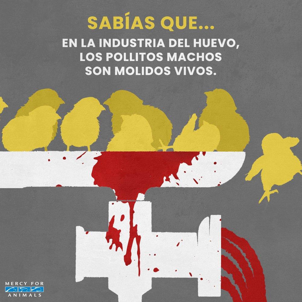 La industria del huevo mata vidas inocen...