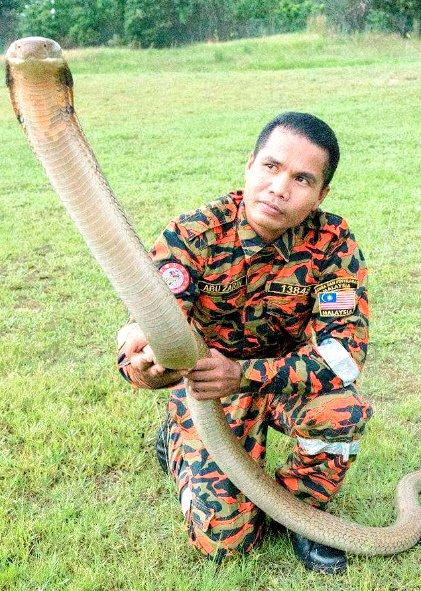 【治療受けるも】マレーシア「毒蛇使いの達人」死亡、コブラに噛まれる https://t.co/Qyj3YvWzXb  「蛇を操ることができる男」として知られ、コブラとキスをしたり曲芸を教えたりする様子が世界のメディアで取り上げられていた。