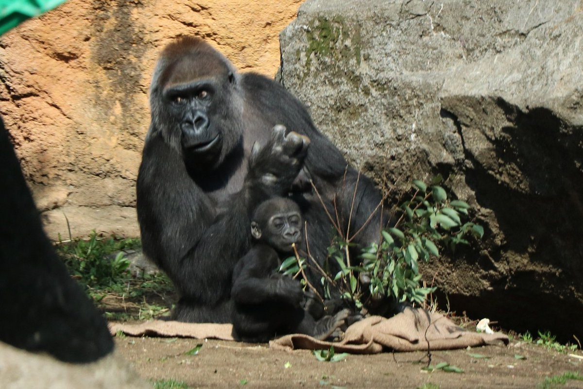 ニシゴリラの子ども「リキ」はすくすく成長中。枝葉をつかんでみたり、まわりのものが気になるようで、母親から少し離れることも。そんなときはすぐさま母親がリキを自分のもとに連れもどします。群れのなかで育てられているリキと他のゴリラのようす、ぜひじっくりそして譲り合いながらご覧ください。