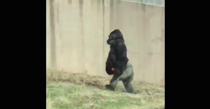 #Video Gorila se viraliza por preferir c...