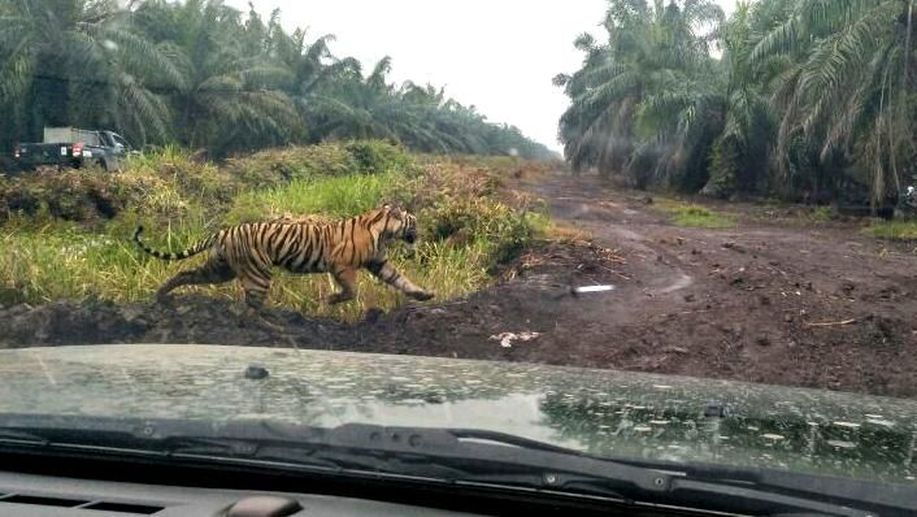 Harimau Bonita Dikepung dari 3 Penjuru https://t.co/DIN7docSB1 https://t.co/Z8pCxwNoFb