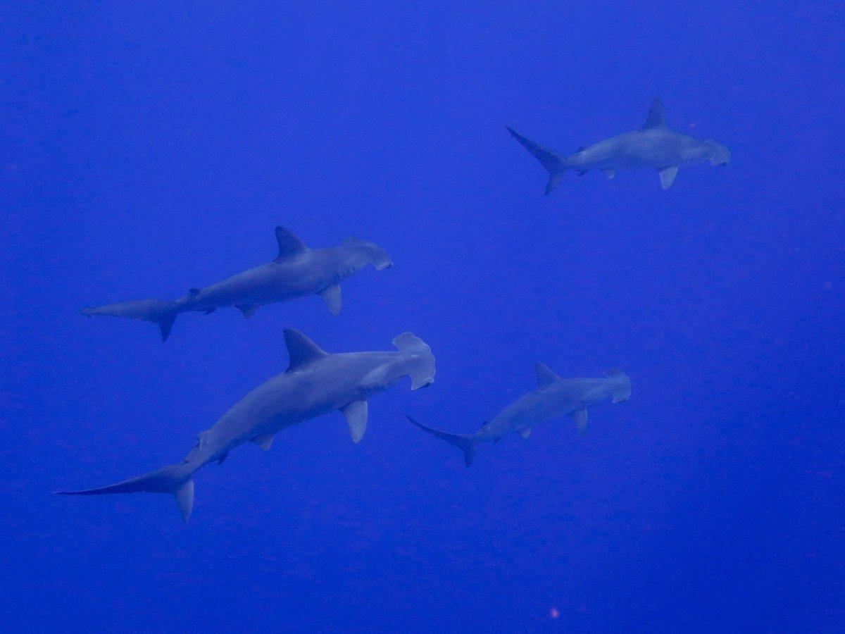 Kona's hammerhead sharks https://t.co/MO...