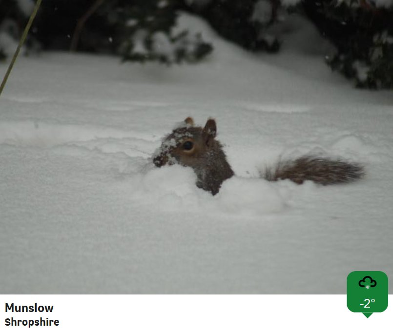 There's been so much snow overnight that we're now measuring snow depth in squirrels. Looks like one squirrel's worth in Shropshire! CF