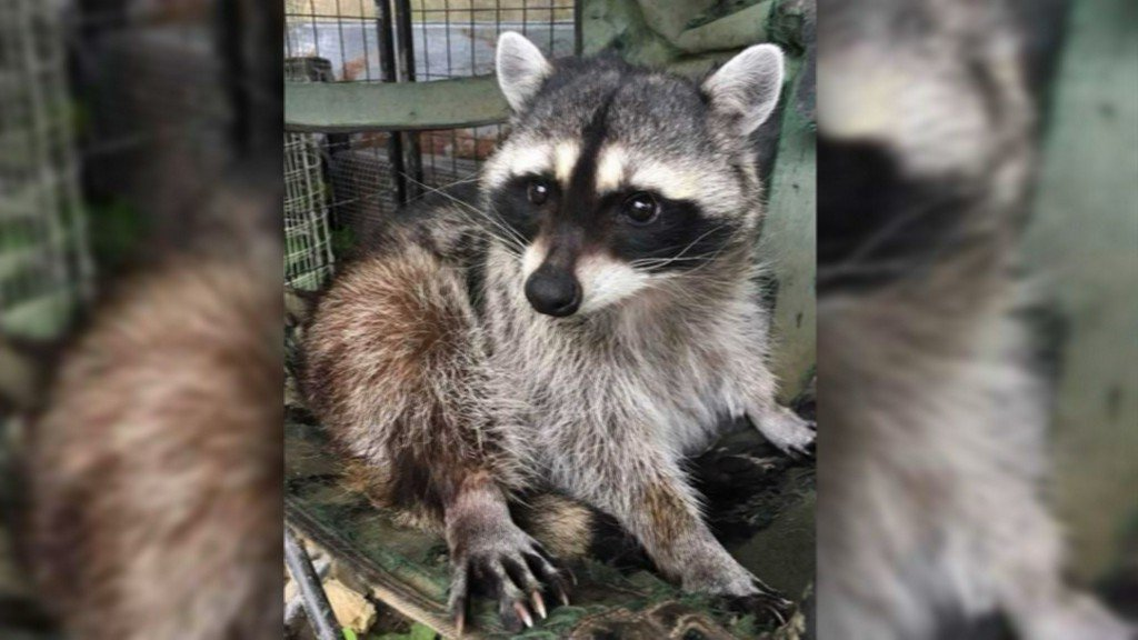 Family of seized raccoon will learn if she can come home https://t.co/K9cGenoEOM