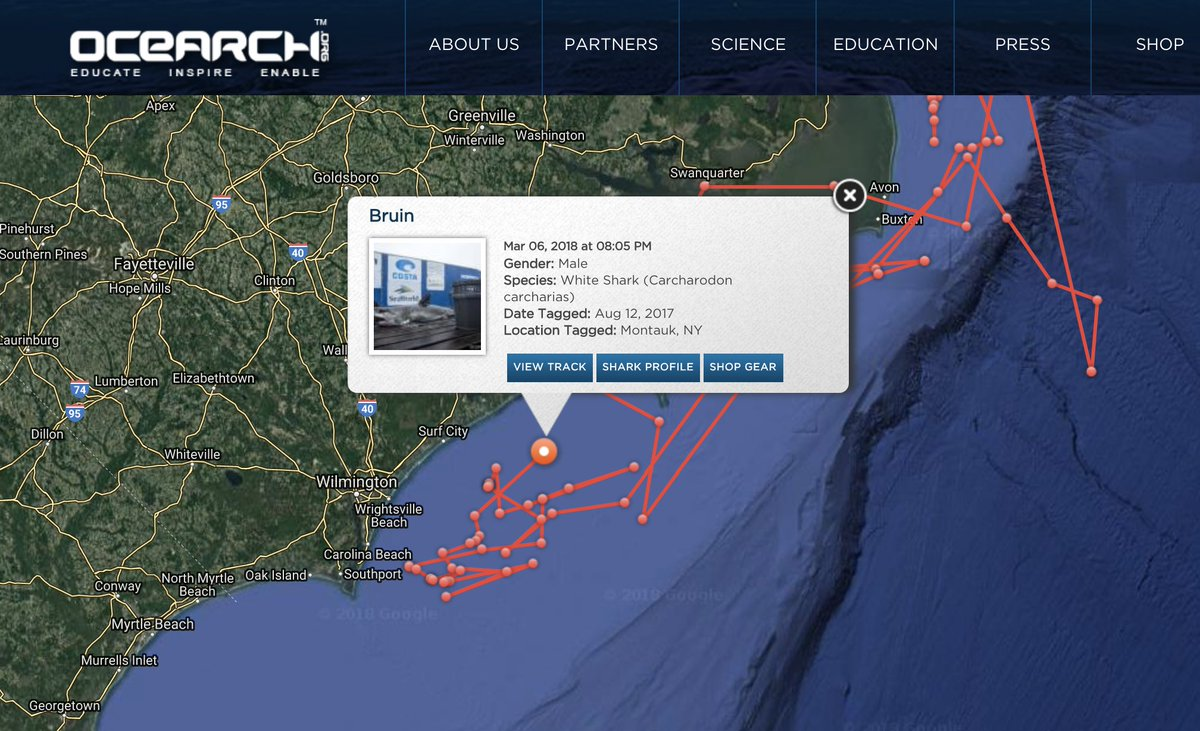 5ft young-of-the-year male white shark @...