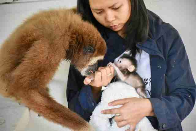 Jub-Jib the gibbon won't the leave the side of her new rescued baby 'sister' 🐵💞 https://t.co/ZNZm0hWFFG