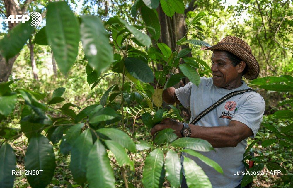 El guáimaro, un guardián ambiental nacido de la entraña de la Tierra #AFP por @Arroussiak y @lacostacastro https://t.co/0anJ9DEutM
