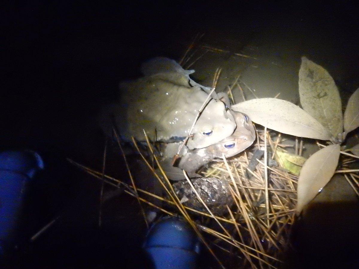 ここ数年ほとんどヒキガエルの姿が見られなかった岐阜市某所.今夜は例年になくたくさん集まっていて15匹以上いました.包接中のペアも3つほど,すでに産卵された卵紐もあり.絶滅せずに再度増えてくれるといいんだけどなぁ.