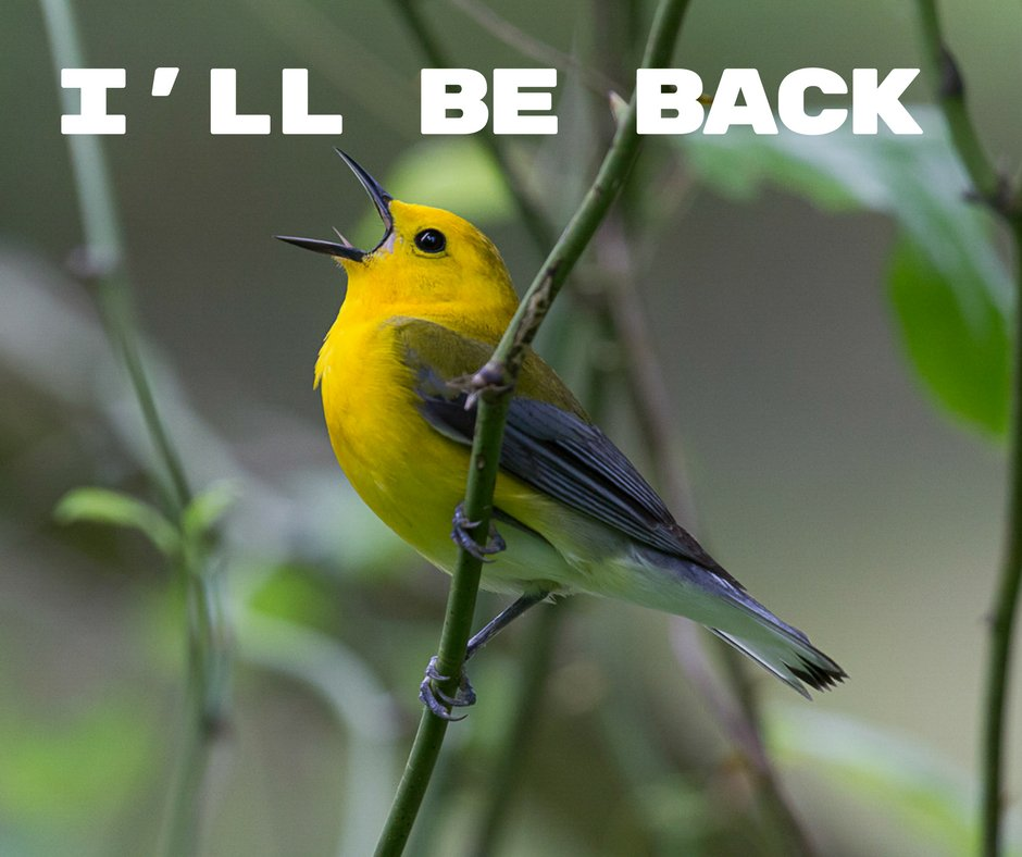 Sometime in the next two weeks, Prothonotary Warblers will be arriving back in the swamp Beidler Forest. What day will we see the first one? You tell us! Well be giving away a pair of tickets to Beidler to one lucky guesser to see the birds for themselves.