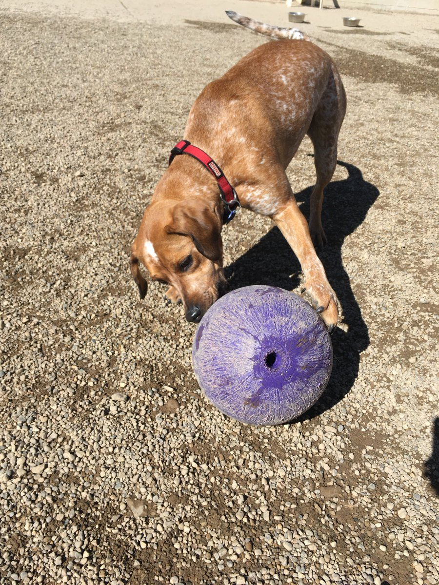 Dixie plays with the jolly ball