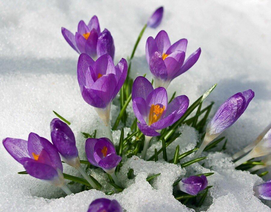 еще открытки крокусы в снегу выбрать этого