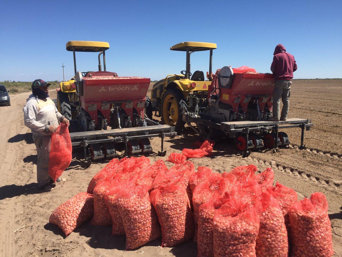 """Marketing JJ Broch på Twitter: """"En unas regiones broch cosechando ajo y al  mismo tiempo desgranando y plantando en otras zonas. eres ajo, eres broch  In some regions broch starting harvesting season."""