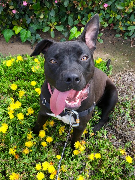 Adoptable #Dog #Sandi_SDHSCA_01 Ear up, tongue out, happy walk �� https://t.co/gjVEzY6GD1 https://t.co/SagMqmIVer