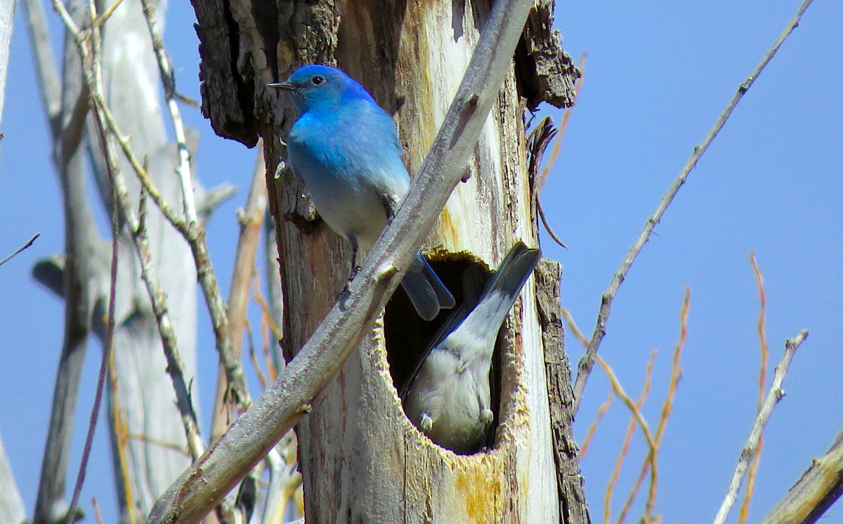 These Mountain Bluebirds were prospecting for nest sites at a @Nature_Colorado preserve this past weekend. Thanks to @ZapataRanch for their amazing hospitality to all the folks who got to enjoy the bluebirds and so much more.