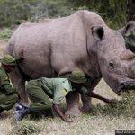 Sudan, le dernier rhinocéros blanc du Nord, est mo...