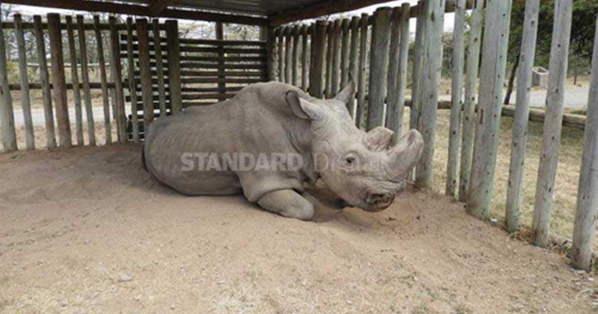 지구 상 마지막 남은 '북부 흰코뿔소' 수컷 사망…종족 멸종 https:...