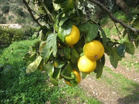 Nuove frontiere per il #bergamotto trasformato si riaccende l\