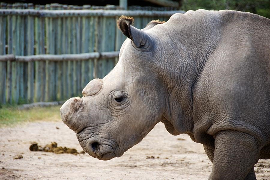 On March 19 the world lost its last male Northern White Rhino. Sleep well, Sudan: https://t.co/uoanRzNR4U https://t.co/iYklaq1UNi