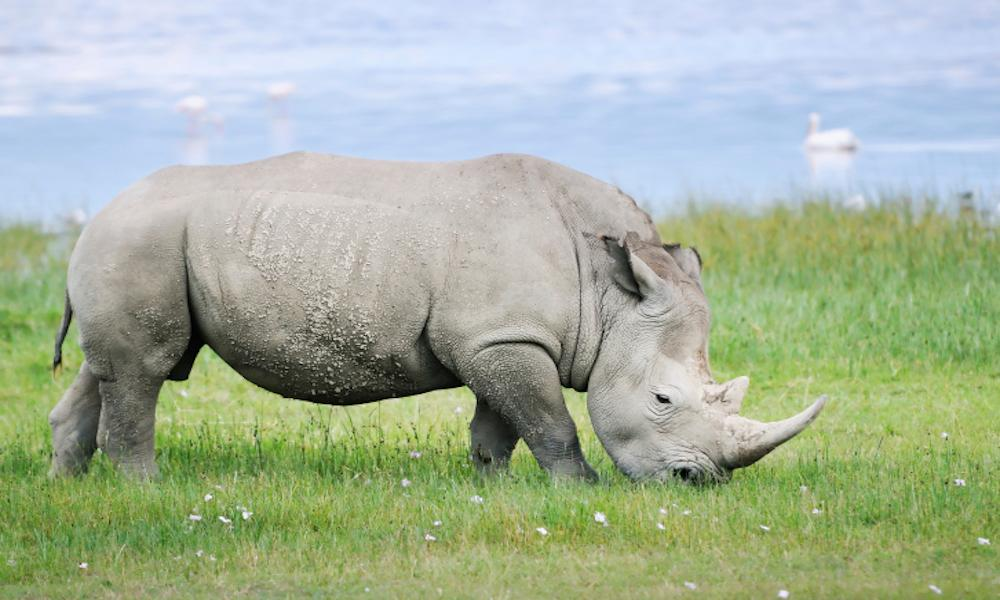 The world's last male northern white rhino has died.  The Kenyan conservancy taking care of it reported the news via Twitter.  This leaves only two of its subspecies alive in the world, both female.  It is believed the rhino, Sudan, died after 'age-related complications'.