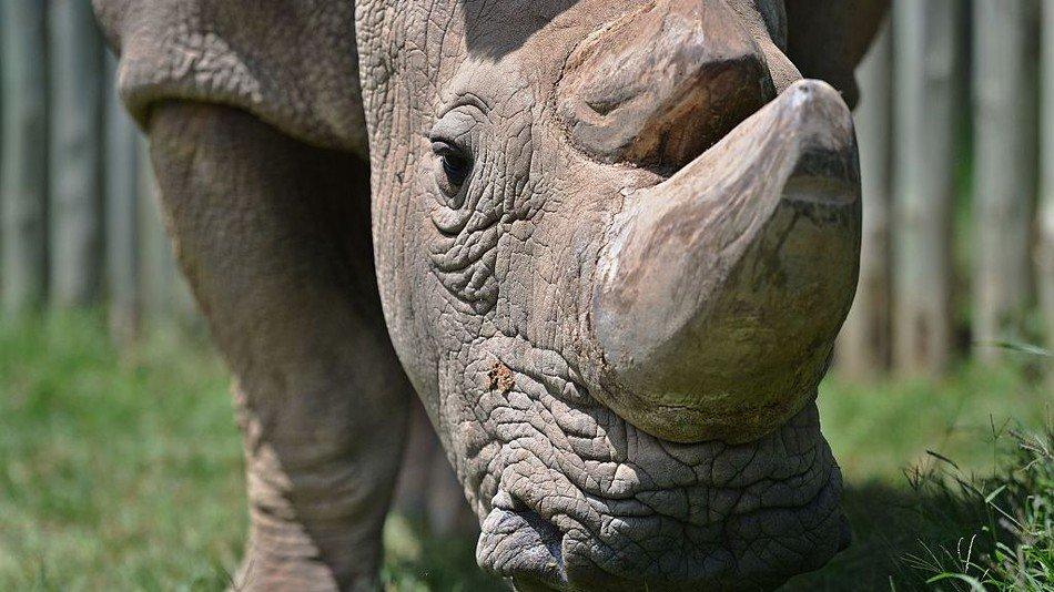 Sudan, the last male northern white rhino, dies aged 45 https://t.co/i9dvqRegY8 https://t.co/Va2zhBNzfB