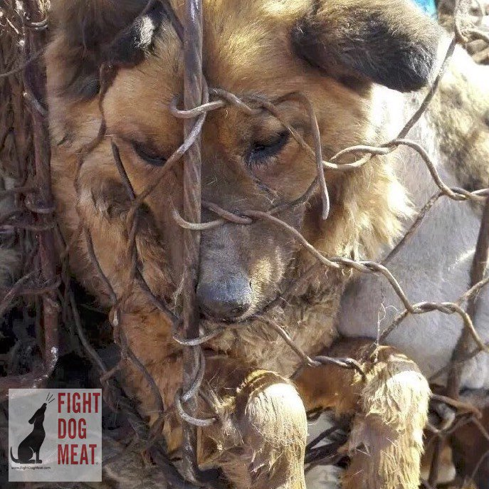 Dog/Cat Meat Trade is based on misbelief that fear and adrenaline make the meat more tender and tastier and bring virility. So they subject our companion animals to unimaginable torture❗ 🙏Help end this madness❗Support global DCMT ban ▶️HRes401◀️and USA Ban ▶️HR1406◀️