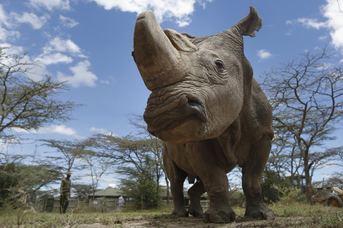 O começo do fim de uma espécie | Morre sem descendentes o último rinoceronte branco macho do mundo https://t.co/N3X09pnwx5