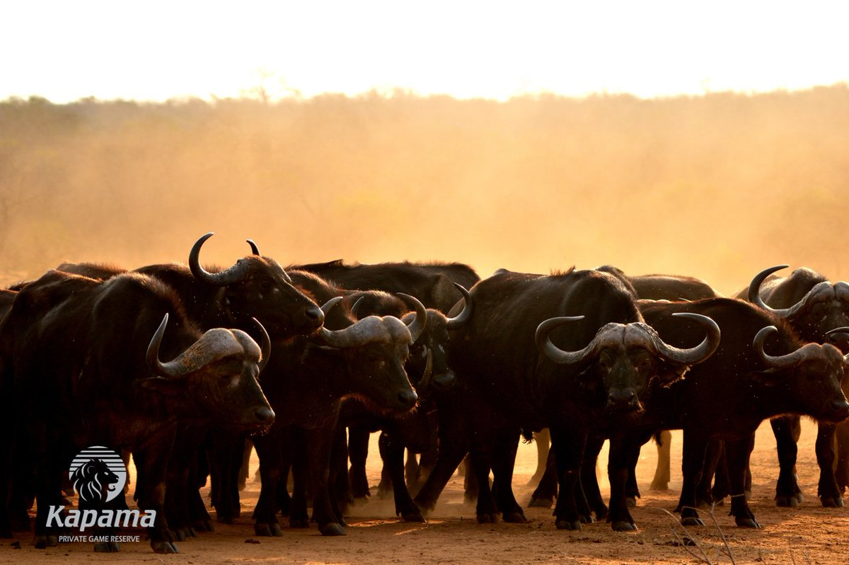 A dusty sunset sets the perfect backdrop for this herd of Buffalo on Kapama! #kapamareserve #traveltuesday