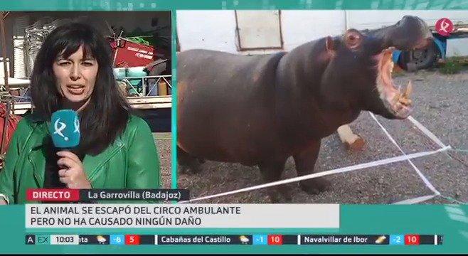 Muchos no daban crédito anoche en #LaGarrovilla y fueron a verlo en persona: un hipopótamo se escapó de su recinto en un circo ambulante y paseó por el Recinto Ferial del pueblo. Los organizadores aseguran que