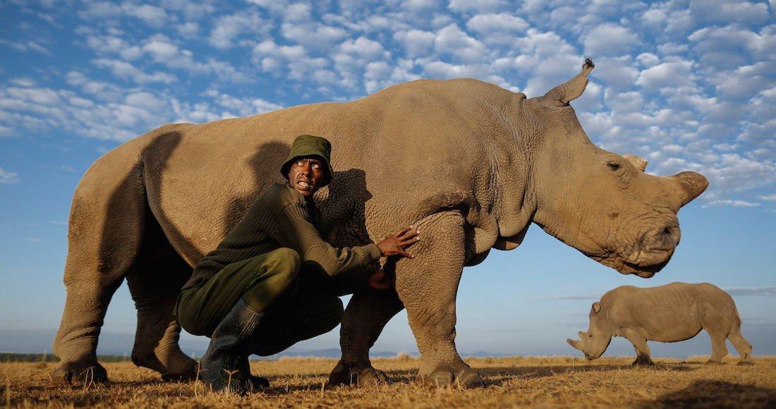 Sudán, el último macho de rinoceronte blanco del norte fallece tras agravase su enfermedad https://t.co/TtITWWqxQq