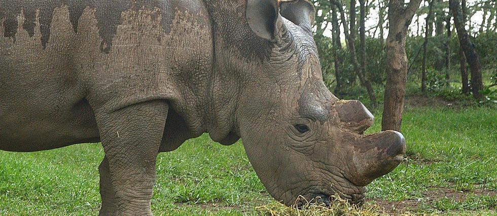Kenya: mort du dernier rhinocéros blanc du Nord mâle https://t.co/eoGMdcIxuB