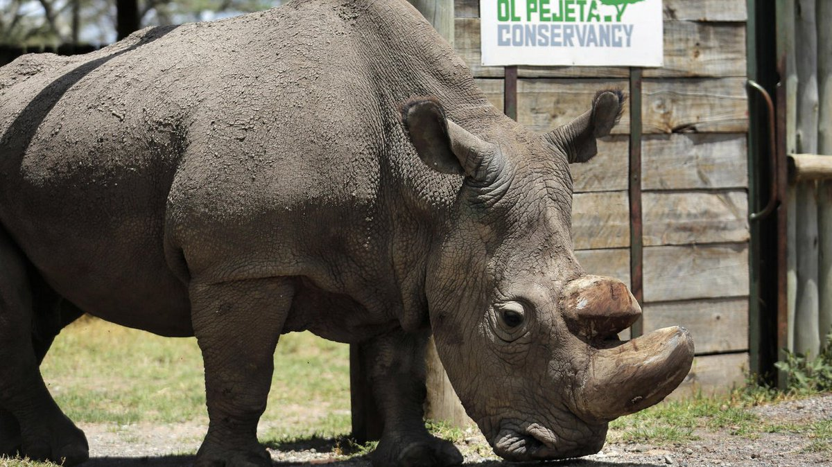 Sudan, the world's last male northern white rhino, has died after 'age-related complications.' Efforts to save the subspecies will continue with in vitro fertilization on the two remaining females https://t.co/714Qug1vil