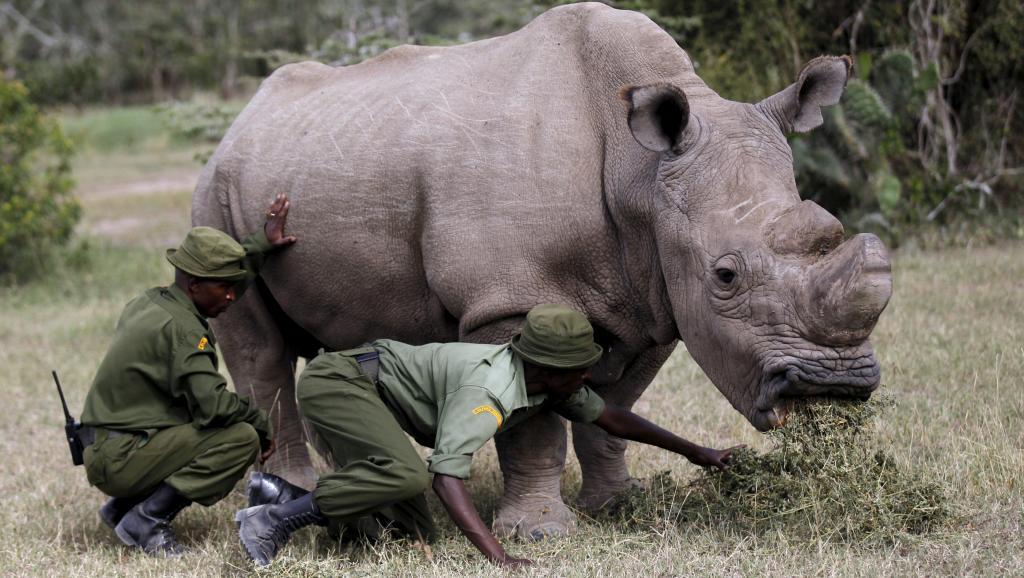 Kenya: Sudan, le dernier rhinocéros blanc mâle du Nord est mort https://t.co/cS6lAlMokr