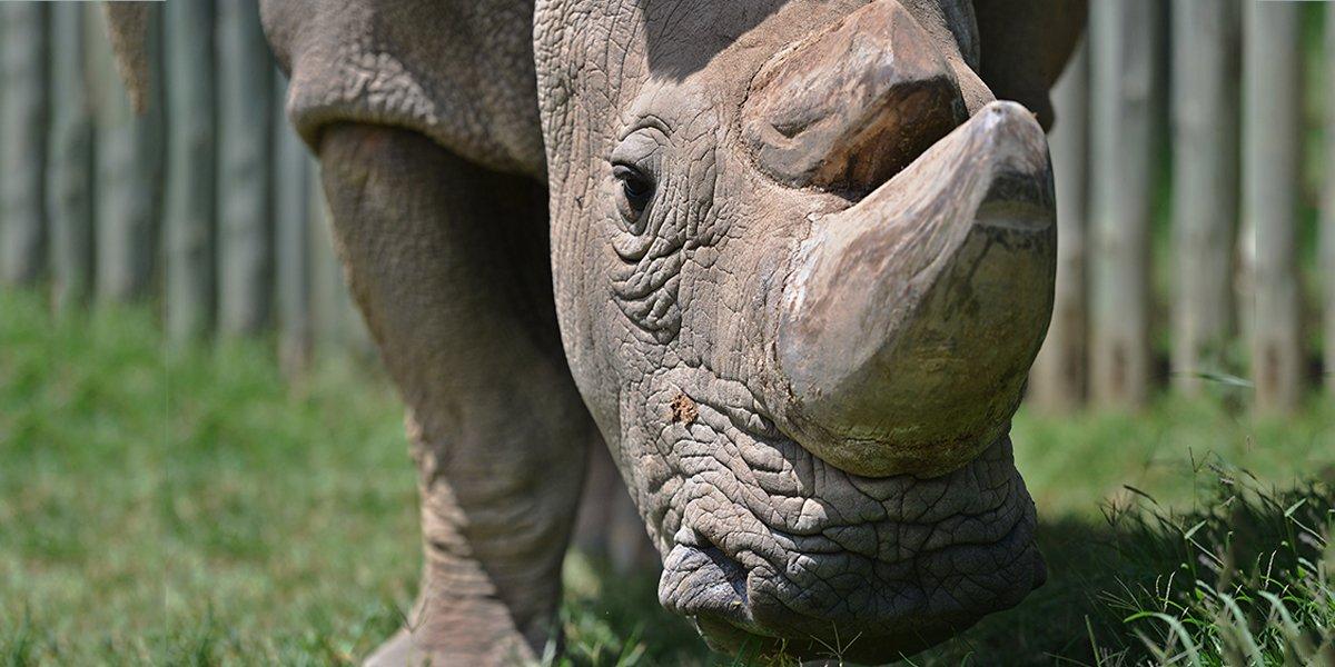 Murió Sudán, el último rinoceronte blanco macho del mundo https://t.co/1Sbb4et6Rv