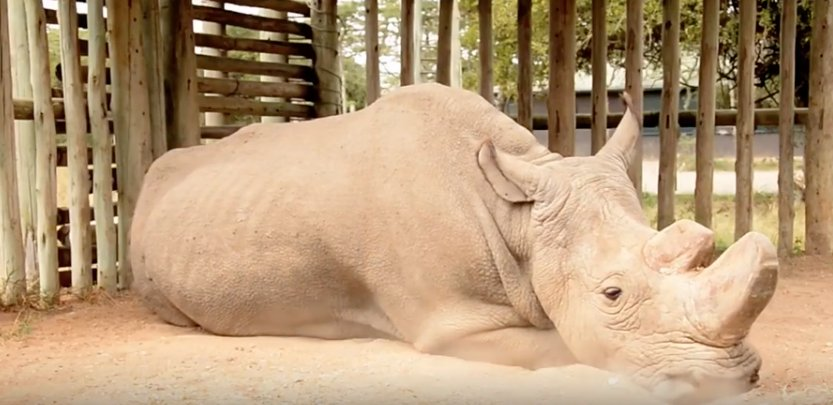 World's last male northern white #rhino passes away as species faces extinction https://t.co/w4ANv9h7I3  #RacingExtinction #wildlife