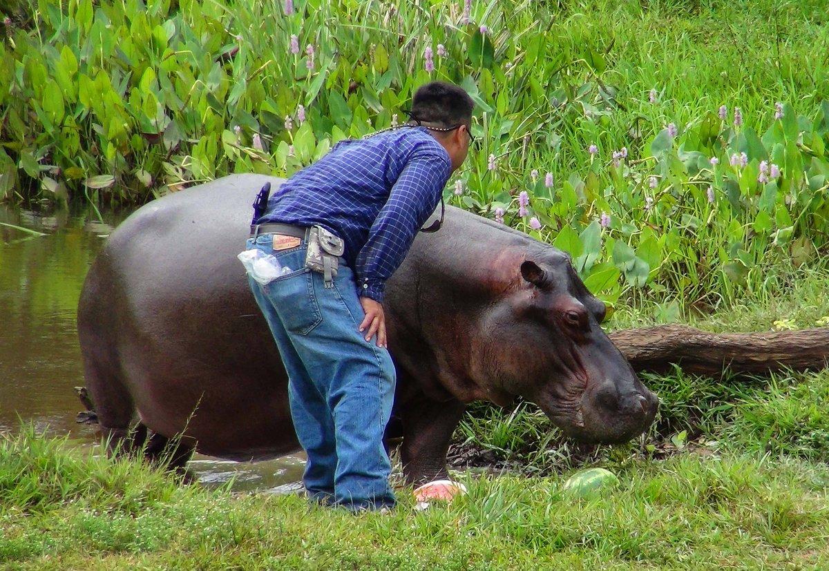 Mexique. 'Tyson', l'hippopotame vagabond, vient d'être capturé https://t.co/x9ozOmNIqO