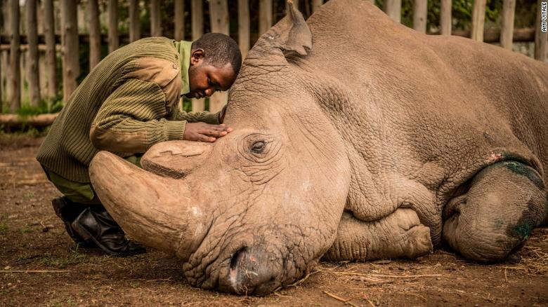 Sudan, a northern white rhino and the last male of his subspecies, has died. Photographer @Amivee chronicled the final moments of his life and says there is still hope for the future of his kind. https://t.co/e5IZOOAgRK via @CNNPhotos