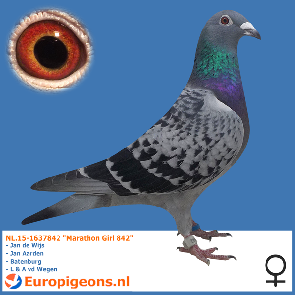test Twitter Media - Just a few of the great marathon pigeons we have for sale at https://t.co/ckkEfDk3Sc Need help? Email me at sales@europigeons.nl or Call / Whatsapp 0031610746683 #europigeons #qualityisachoice #racingpigeons #jandewijs https://t.co/9ChDqZpyBM