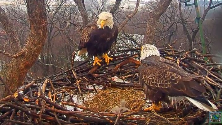 wcvb tv boston on twitter 2 bald eagle eggs hatch in nation s