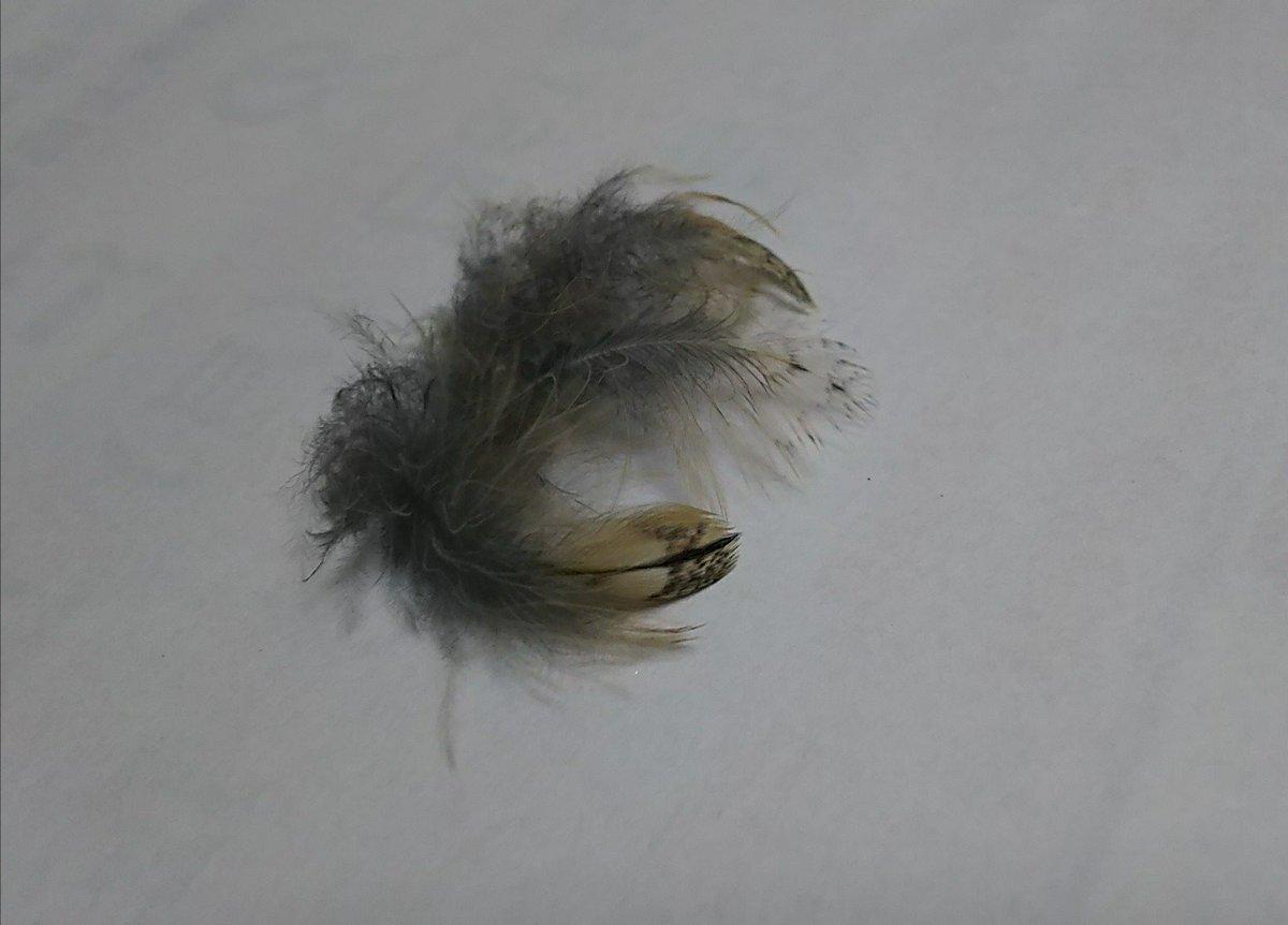 春になり、もんちゃんは勢い良く換羽開始🦉 飼い主はカキカキ&ツクツクほぐし係になるのだった・・・