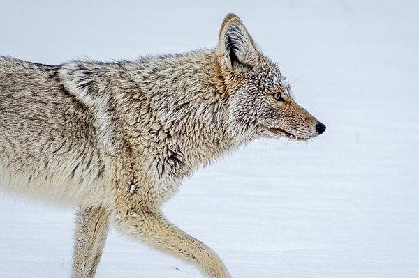 New artwork for sale! - 'Coyote Profile...