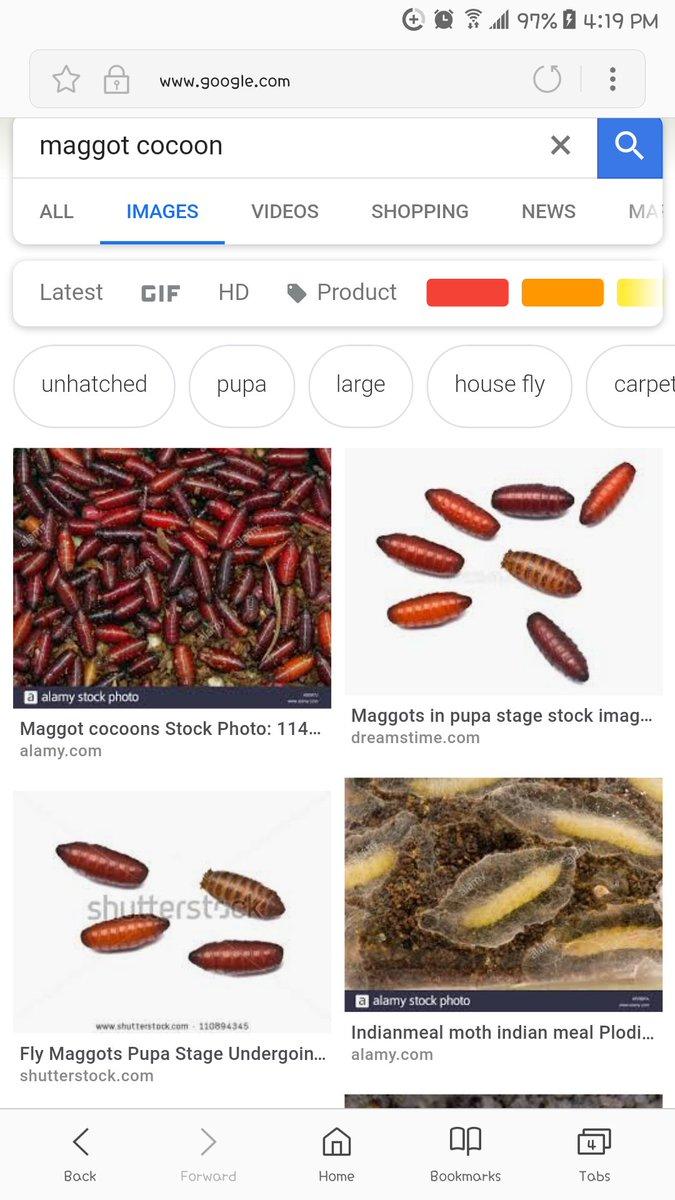 Carpet Maggots Pictures