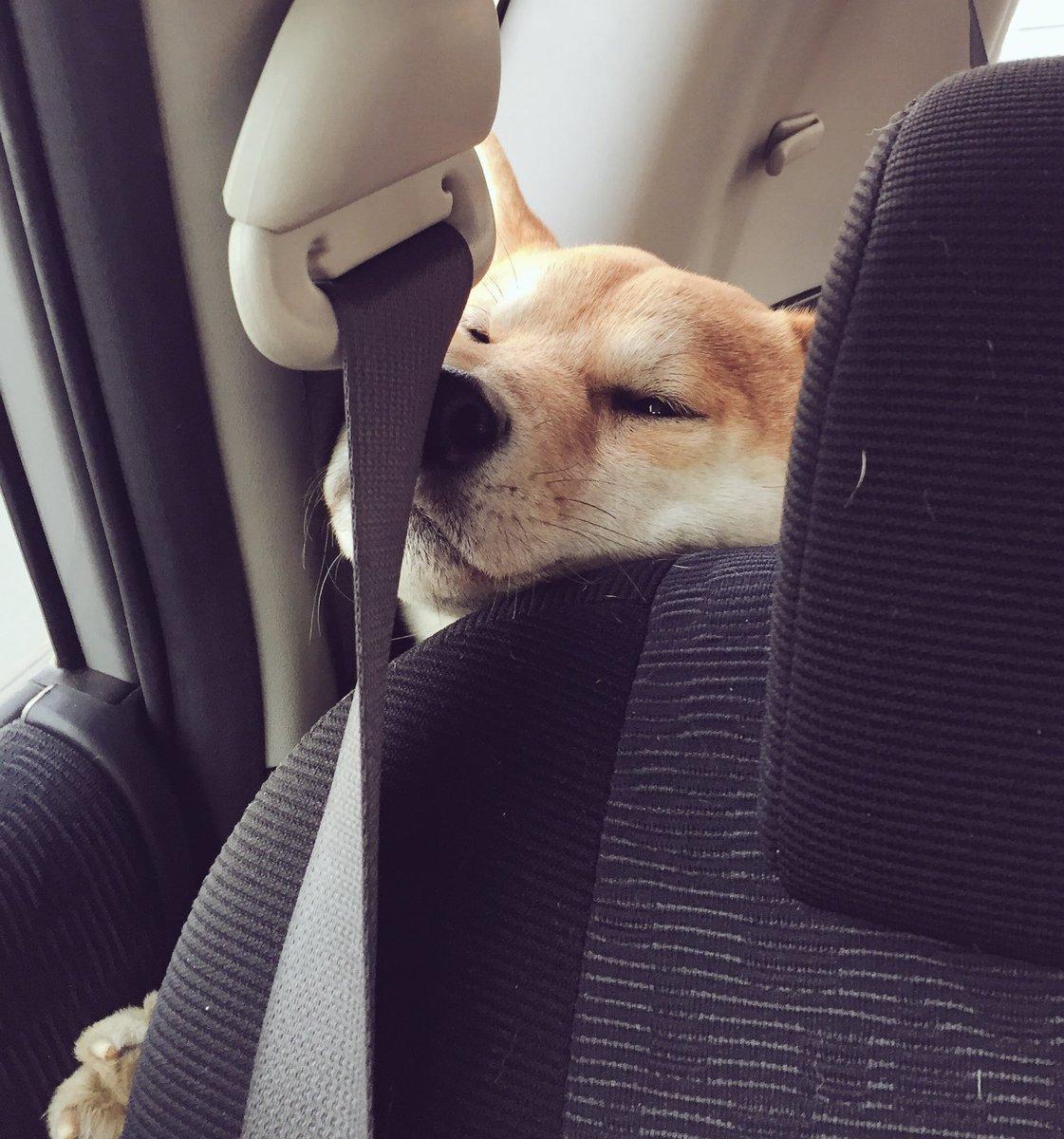 どうしても前に行きたいw車の後ろから顔を押しつけて前に出ようとする犬w