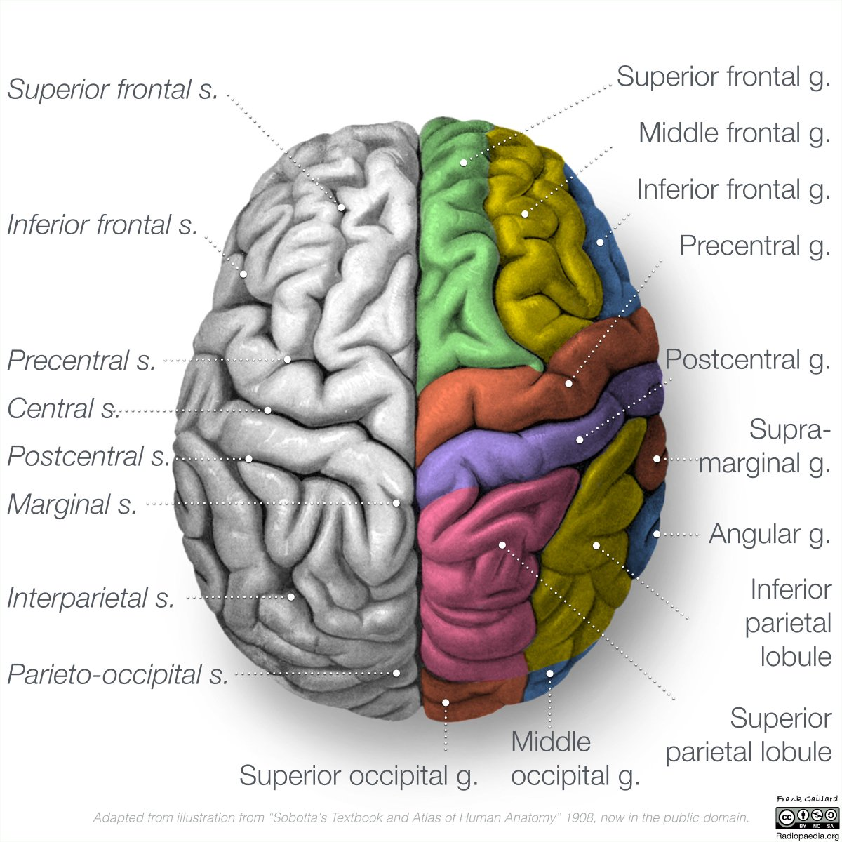 Frank Gaillard On Twitter More Brain Anatomy Goodness All