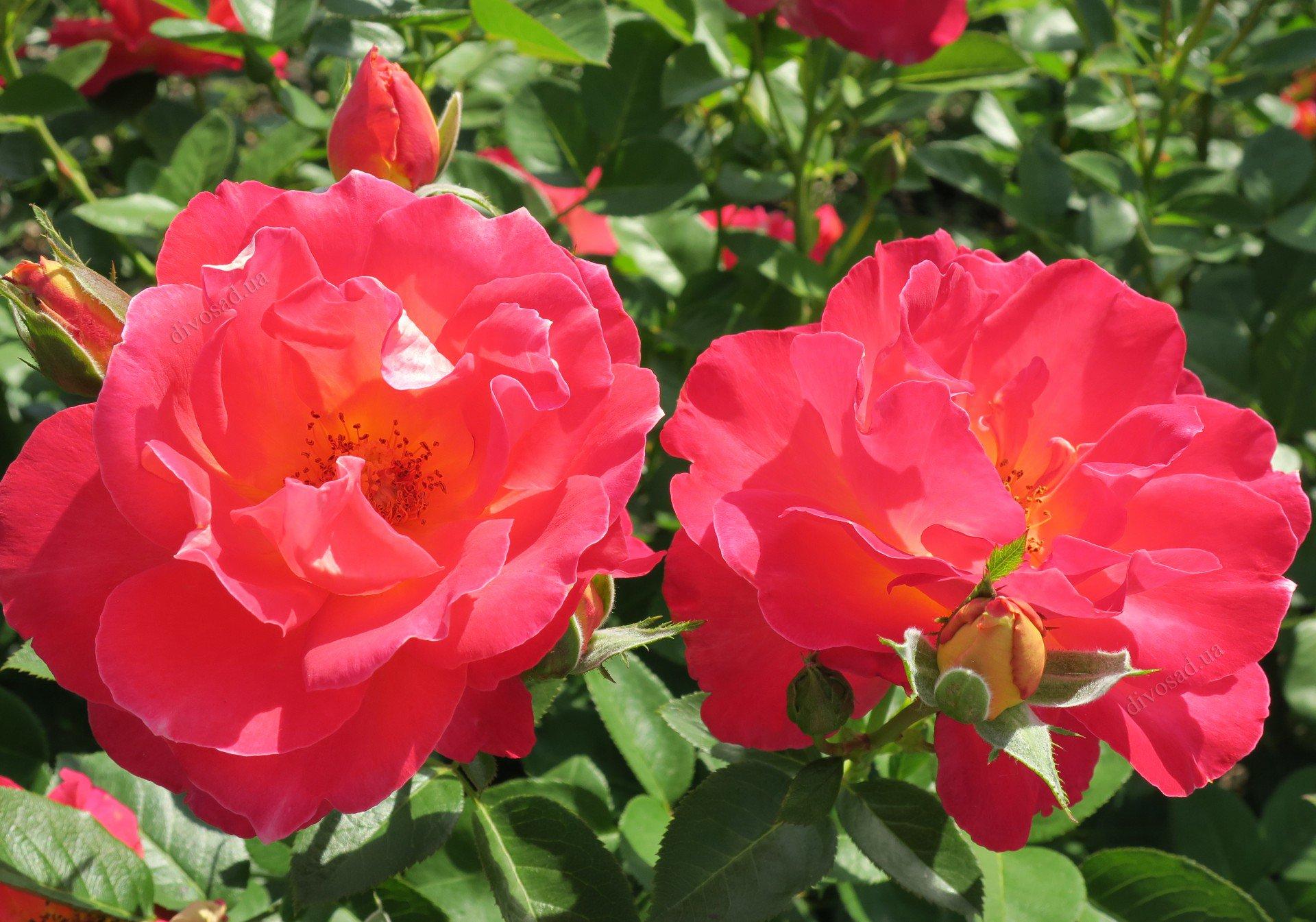 или роза плетистая декор арлекин фото нас можно