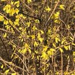 Image for the Tweet beginning: #TourisminShenyang Yellow delight: Winter jasmine