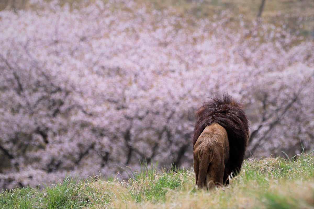 サファリの桜は、やっと八分咲き???? ライオンも見とれてると、勝手に想像???? #さくら #ライオン #アフリカンサファリ
