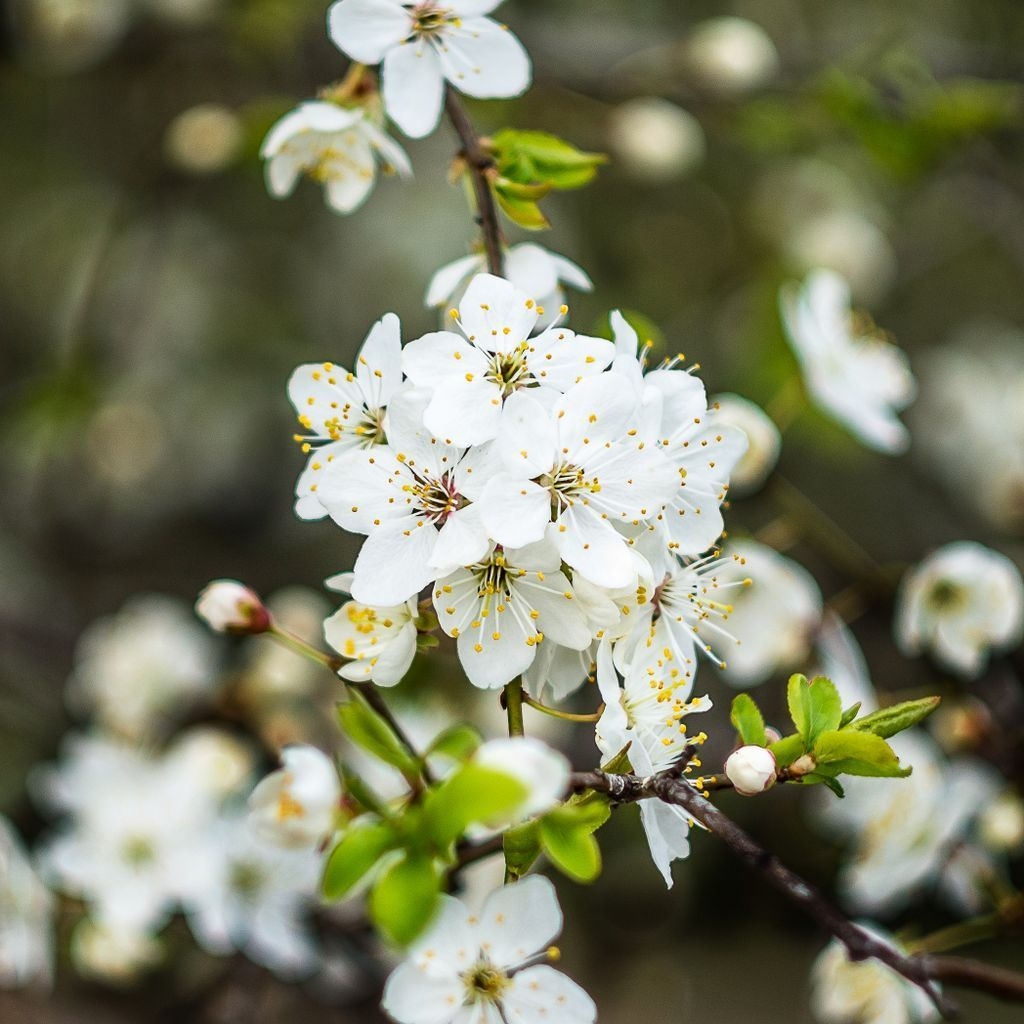 Grow Your Own On Twitter Enjoy The Blossom On Trees Such As Pears