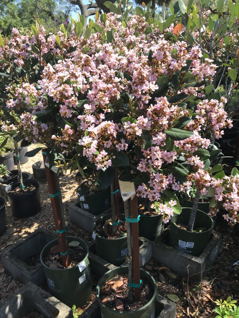 Lukas Nursery V Twitter Add A New Dimension To Your Patio Or Front Doorway With A Flowering Topiary Tree In A Beautiful Glazed Pot With Complimentary Color We Have A Vast Selection