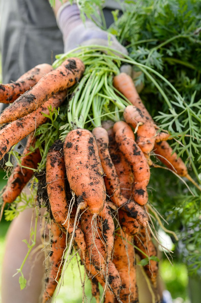 #InternationalCarrotDay Who knew there was such a day!  Here's a lovely bunch of carrots, dirt and all, from our organic vegetable garden!